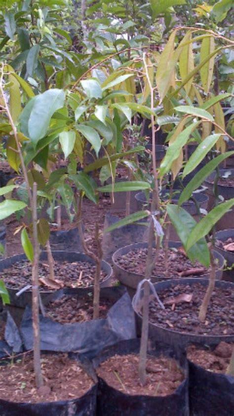 Benih Durian Musang King Untuk Dijual benih buah buahan epeladang jr0017330 m 0162265710