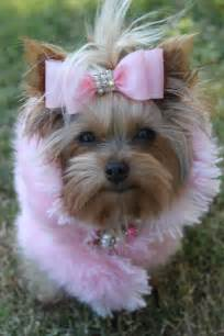 yorkie breeders in bc 6984 best images about yorkie on