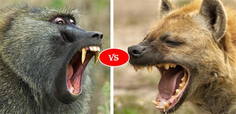 compare baboon  hyena fight   win