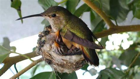 watch baby hummingbirds hatch grow on live webcam mnn
