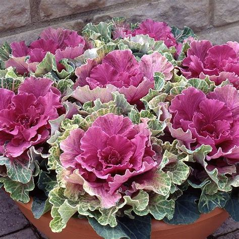 ornamental cabbage northern lights rose 6 plants new products pinterest