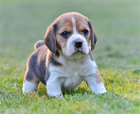 order puppies beagle puppies for sale farm