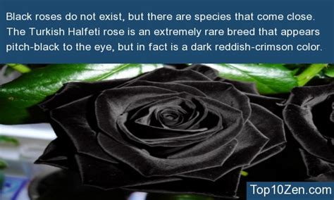 40512 Black Flower 10 interesting facts about roses to your mind 3