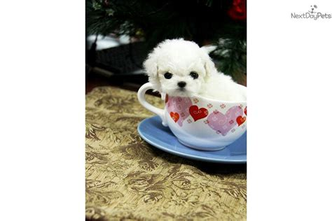 teacup bichon frise puppies for sale teacup maltese puppies for sale ohio breeds picture