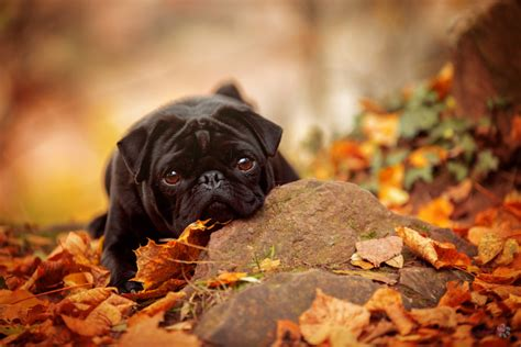 fall pug 500px 187 the photographer community 187 pug