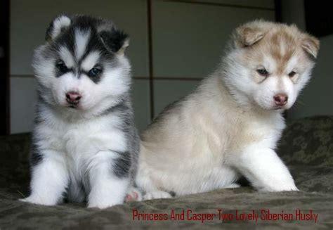 siberian husky appartamento cuccioli di siberian husky per l adozione annunci