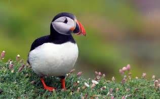 atlantic puffin on flowers photo and wallpaper all