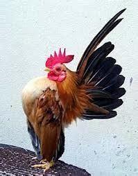 Jual Ayam Parent Betina Kaskus terjual ayam serama kaskus