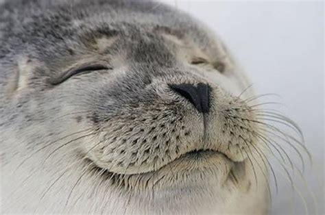 Seal Meme - satisfied seal memes imgflip