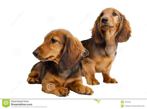 free dachshund puppies in two longhair dachshund puppies royalty free stock photo image 7076165