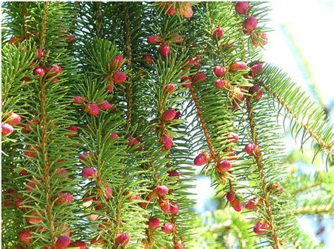 pine tree fruit pictures pine tree fruit jpg 3 comments