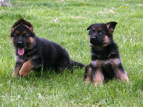 german shepherd puppy breeders german shepherd puppies doglers