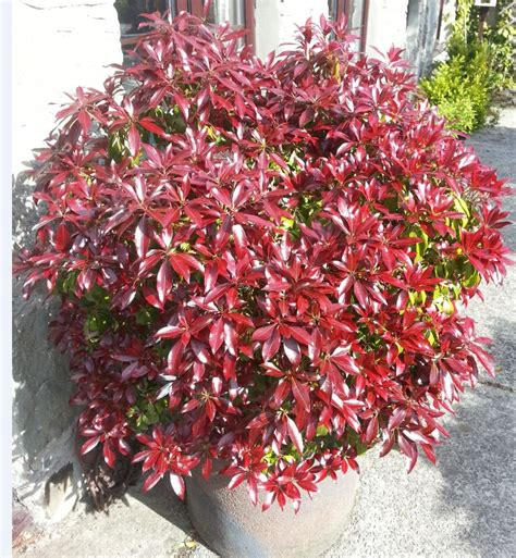 How To Buy Bedding pieris japonica katsura farmyard nurseries
