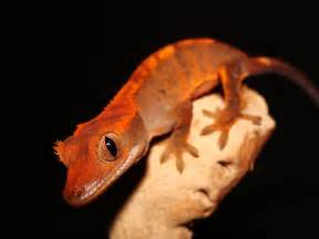 the gecko zone the crested gecko