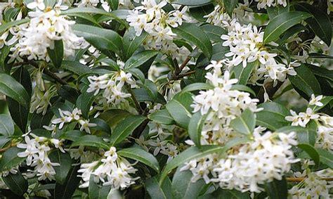 hardy flowering evergreen shrubs hardy evergreen shrub collection groupon goods