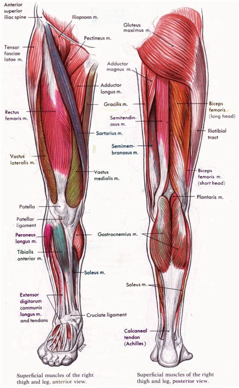 leg muscles diagram human anatomy and physiology diagrams legs diagram
