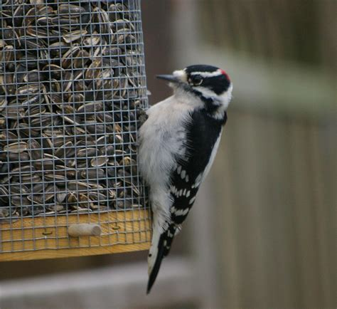 file downy woodpecker jpg wikipedia