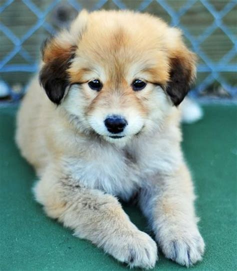 golden retriever german shepherd mix 13 gorgeous golden retriever mixes you just to see