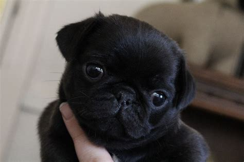 pug puppies washington kc reg black silver pug puppies looking for their forever homes in washington tyne