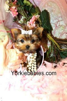 yorkie puppies for sale in rapid city sd 1000 ideas about terrier haircut on yorkie terriers