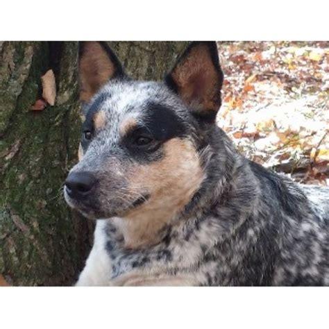 free puppies in scranton pa whiteduck heelers australian cattle breeder in scranton pennsylvania listing id