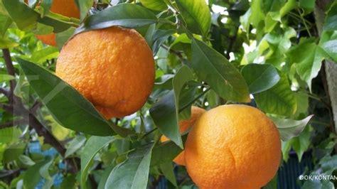 Bibit Jeruk Santang Purworejo santang madu bisa dikembangkan dengan okulasi 2