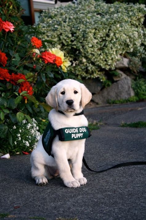 puppy guide guide puppy in