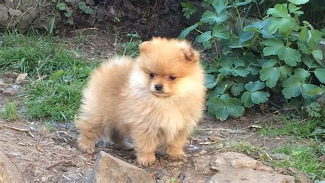 pomeranian orange tiny fluffy kc reg orange pomeranian pup lancashire pets4homes