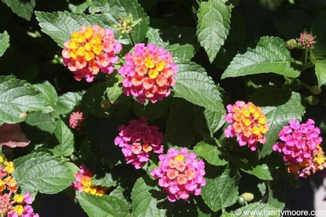 lantana hearty flowering plants that bloom all summer