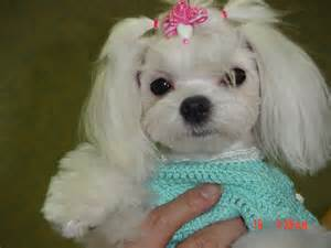 pictures of hairstyles for maltese dogs haircuts for maltese dogs need haircut ideas maltese