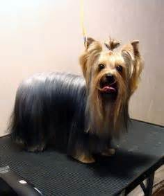 how do yorkies sleep explore yorkie haircuts pictures and select the best style for your pet yorkie and