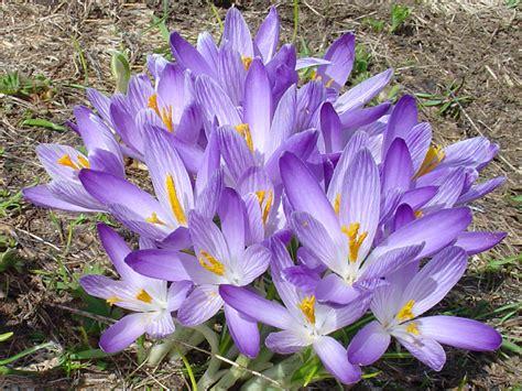 fiori invernali fiori invernali viola forum giardinaggio