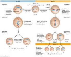 Diagram besides interphase mitosis vs meiosis moreover simple diagram