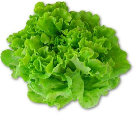 imagenes lechugas verdes green batavia lettuce
