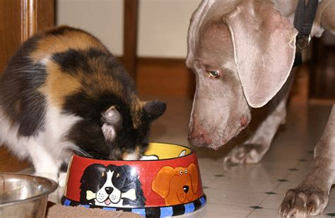 can dogs eat cat food should cats eat food meow