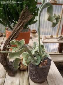 slipper plants for sale slipper plants for sale 28 images paphiopedilum