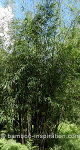 Fargesia scabrida Asian Wonder Bamboo