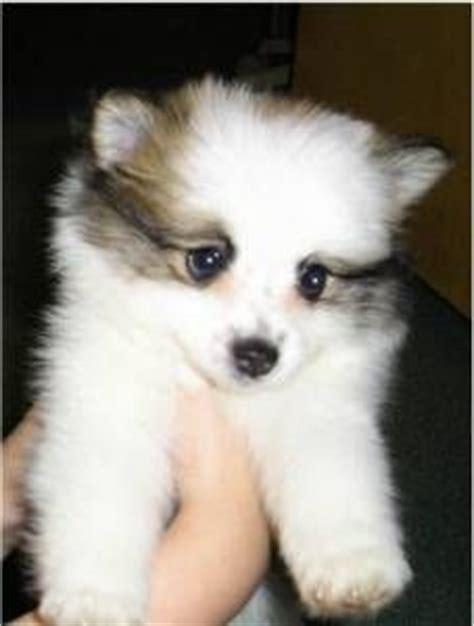 pomeranian american eskimo puppies dogs american eskimo on american eskimo toys and miniatures