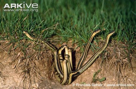 Garter Snake Habitat Common Garter Snake Photo Thamnophis Sirtalis G83488