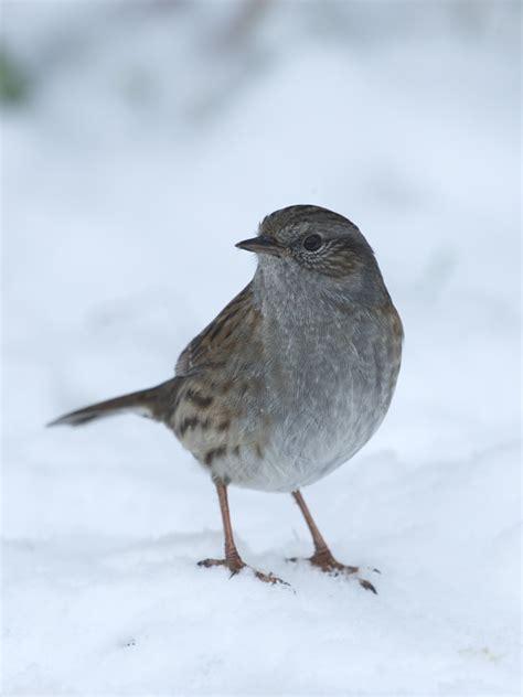 dunnock hegde sparrow prunella modularis
