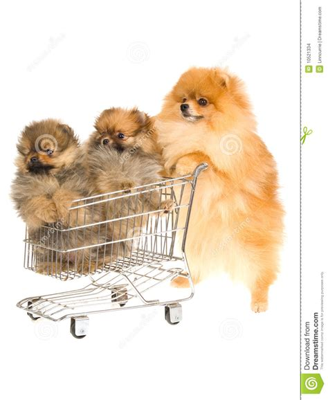 pomeranian shop pomeranian with 2 puppies in mini shop cart stock images image 10521334