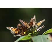 Pics Photos  Mariposa Monarca