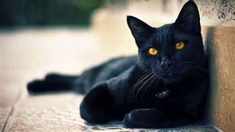 high resolution wallpaper of cat 纯黑猫咪高清桌面壁纸 动物壁纸 壁纸下载 美桌网