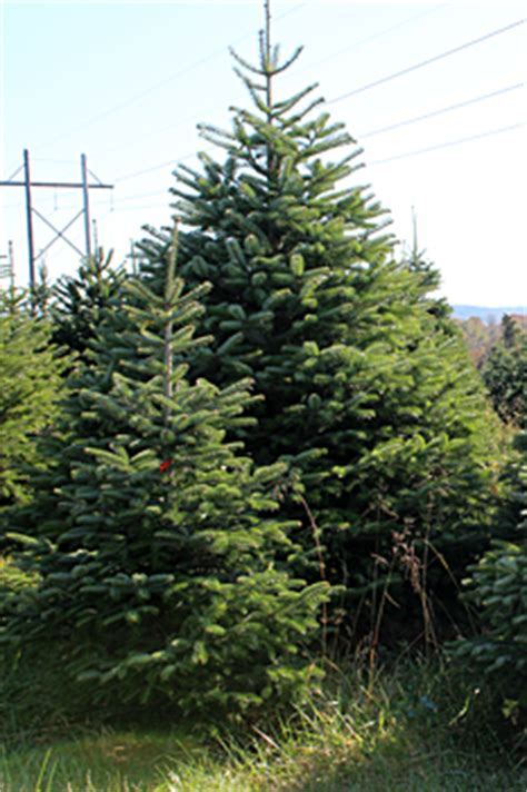 turkish pine xmas tree delivered