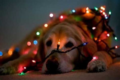 funny dogs and christmas lights on tvoydosug com