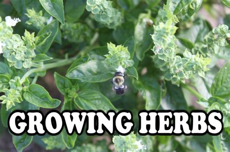 growing herbs growing herbs great for your garden and your kitchen