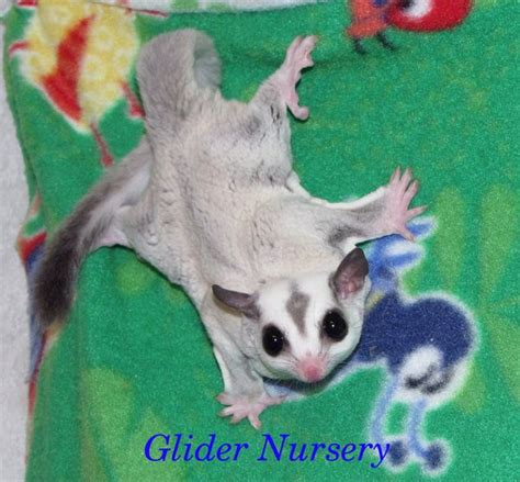 sugar glider colors 429 best images about sugar gliders on sugar