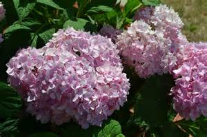 endless summer hydrangea 174 is a colorful shrub that blooms