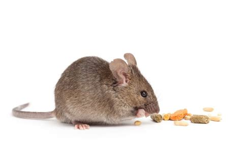 house mouse pittsburgh house mice house mice prevention pa house mice control