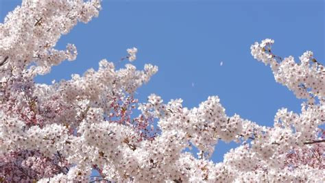 Blossom Shieneng sun shining through blossom apple tree branches stock footage 3957092